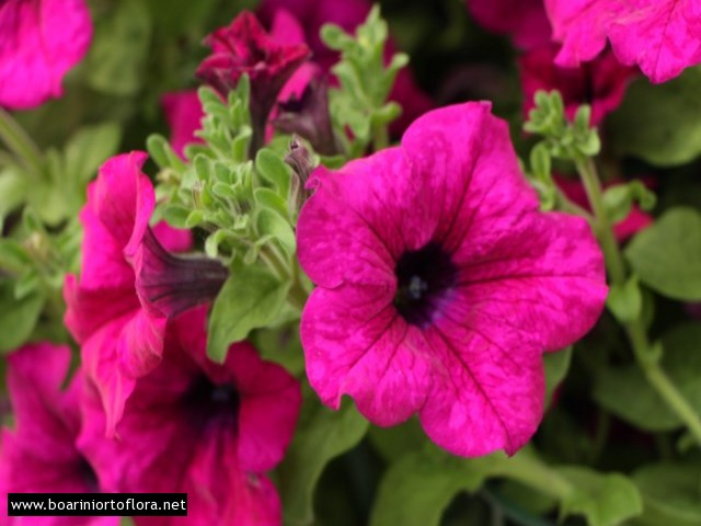 Pianta fiorita piante primavera estate ortoflora boarini for Surfinia inverno